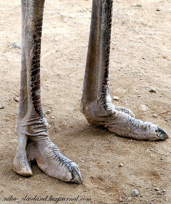фото страуса ноги