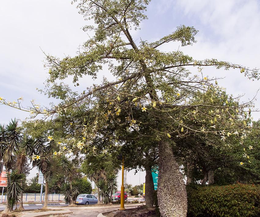 ofaqim_tree