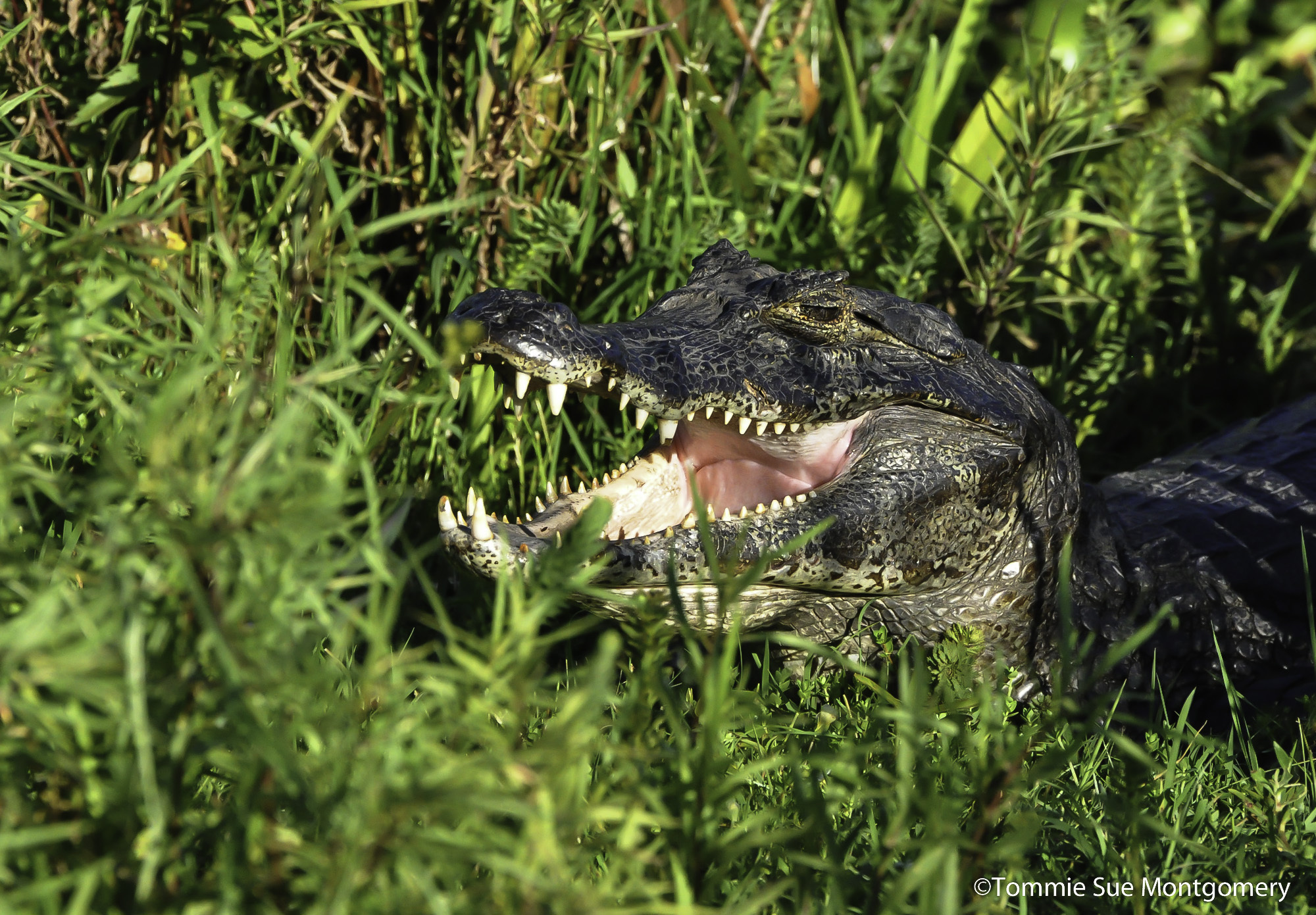 south american alligator