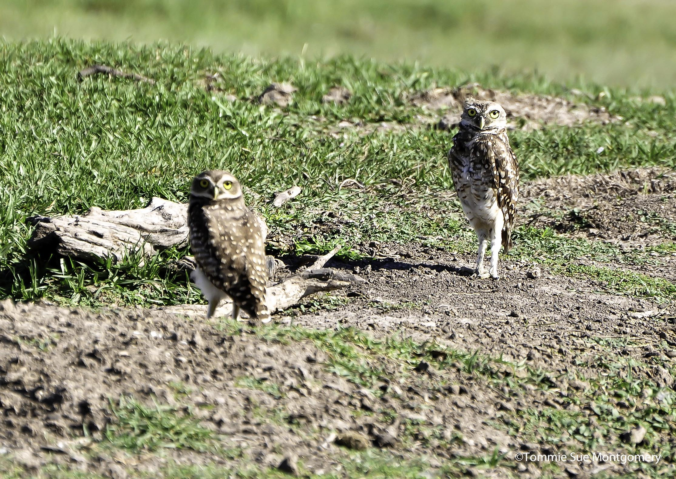 owls next to their burrows