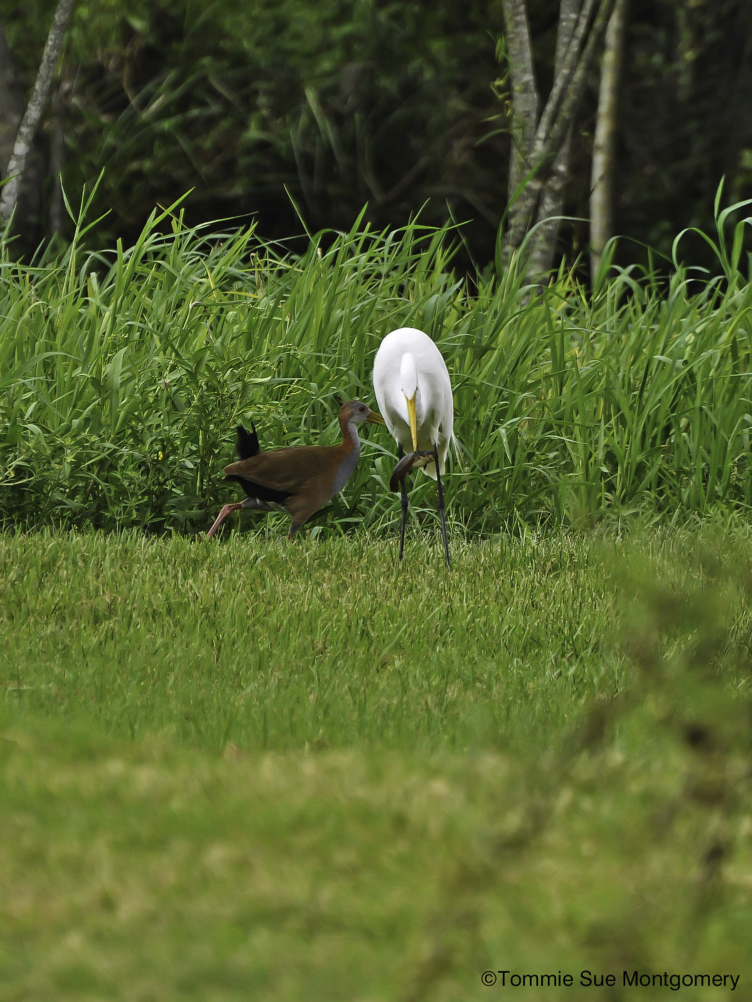 Great white egret with food