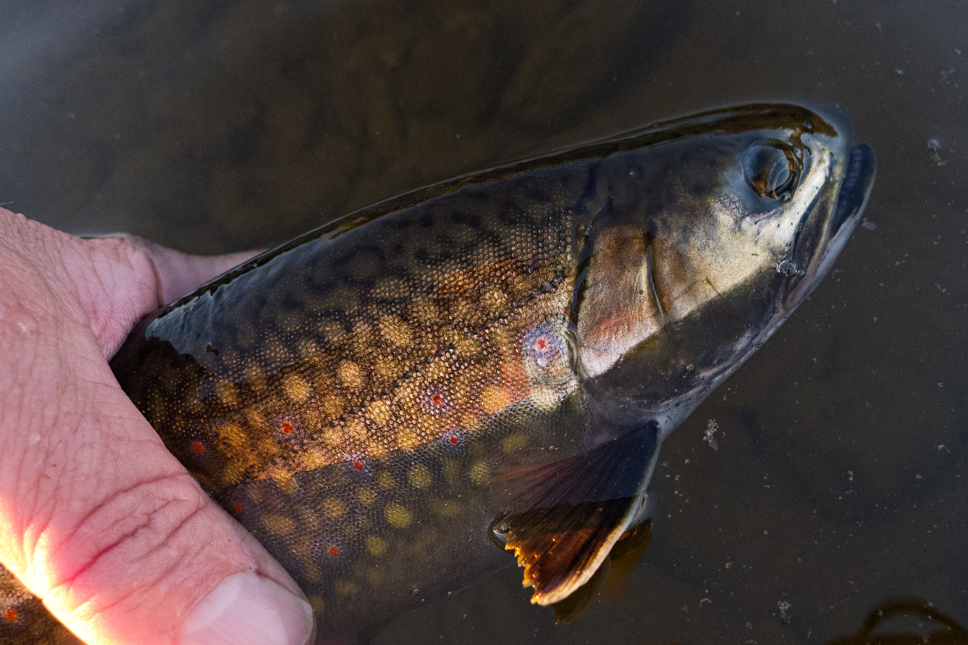 Maine brook trout page 2 fly fishing maine fly fish for Trout fishing near me