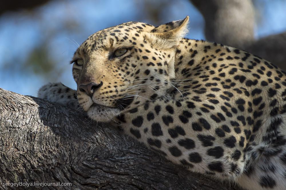 леопардов, которые мирно