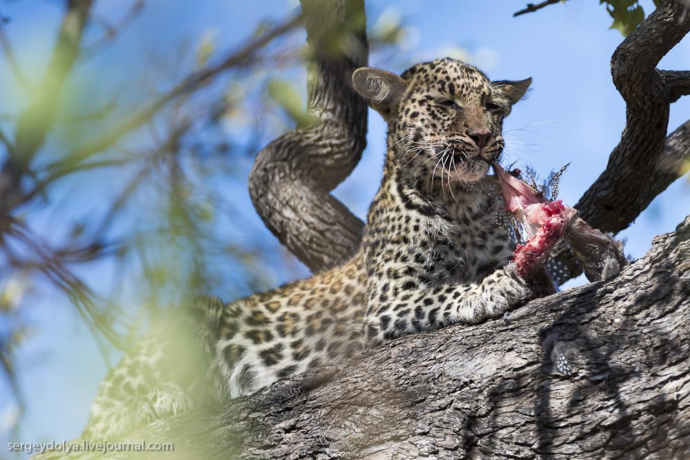 Африканские леопарды