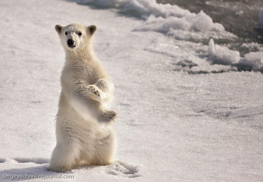 Белый медвежонок. Karate kid