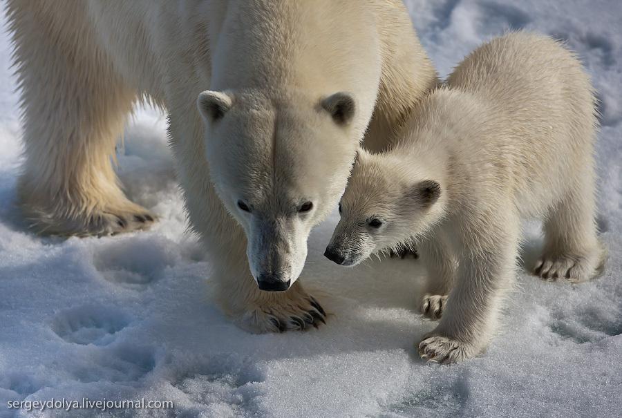 Белые медведи. Материнство