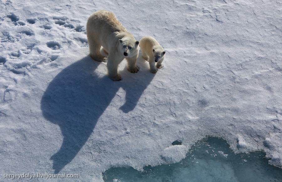 Белые медведи. Тень