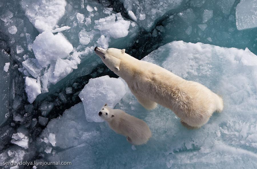 Белые медведи. Взгляд вверх