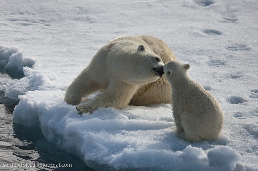 Белые медведи. Любовь