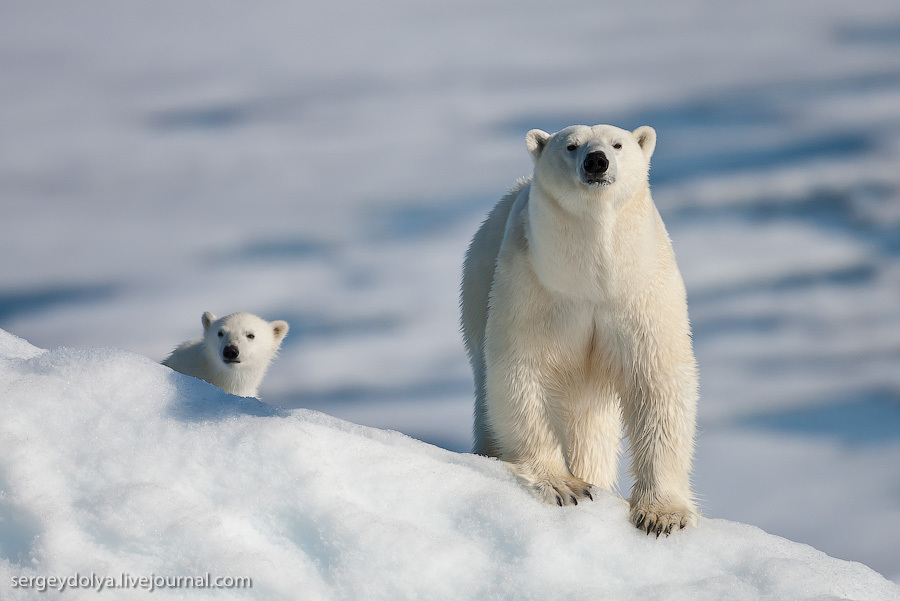 Белые медведи. На айсберге